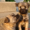 Cairn Terriers G.&R.Curty